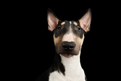 Portrait of Gorgeous Bull Terrier Dog Looking in camera on isolated Black background, front view