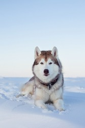 Portrait of Gorgeous dog breed siberian husky is lying on the snow at sunset and looking to the camera. Husky topdog is on the ice floe of the frozen Okhotsk sea