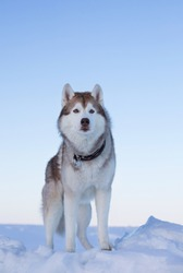 Portrait of gorgeous dog breed siberian husky standing on the ice floe. Free and prideful Husky topdog is observing the endless frozen sea and snow at sunset.
