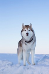 Portrait of gorgeous dog breed siberian husky standing on the ice floe. Free and prideful Husky topdog is observing the endless frozen sea and snow.