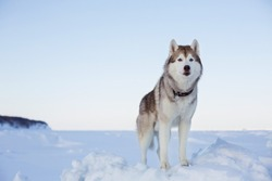Portrait of gorgeous dog breed siberian husky standing on the ice floe in winter at sunset. Wise and free Husky topdog is enjoyng the view of endless frozen sea and snow forest.