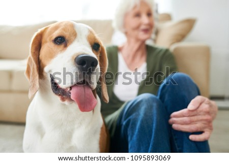Portrait of gorgeous purebred beagle dog sitting with his senior owner on floor at home enjoying time together, focus on foreground, copy space #1095893069