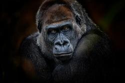 Portrait of gorilla dark background