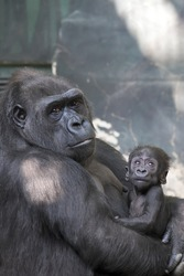 Portrait of gorilla-mother with her baby.