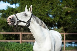 Portrait of graceful thoroughbred gray horse curiously reaching. Multicolored horizontal summertime outdoors image