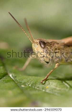 Portrait of grasshopper on green leaf . Russian nature #296509070