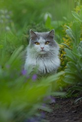 Portrait of gray  beautiful cat looking with interest. Amazement  gray  and white cat lying in the garden. Beautiful gray and white cat looking proud.
