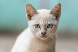 Portrait of Gray brown stray kitten (homeless cat) looking at camera with blue pastel tone background.