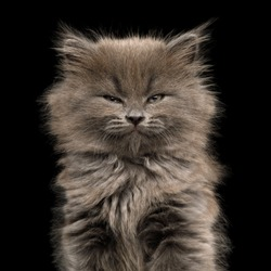 Portrait of Gray Kitten, with enjoyment face on Isolated Black Background