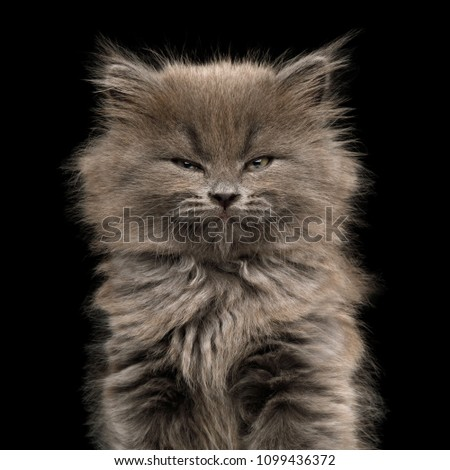 Portrait of Gray Kitten, with enjoyment face on Isolated Black Background #1099436372