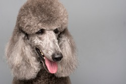 Portrait of Gray Royal Poodle Dog  on Gray Background.Space for text.