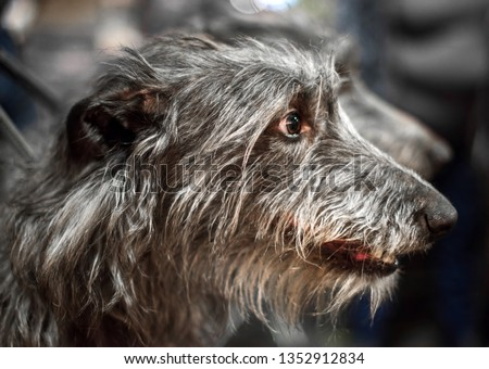 Portrait of Gray Scottish Deerhound dog with tapering muzzle and dark brown eyes. #1352912834