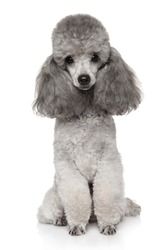 Portrait of Gray Toy Poodle on white background