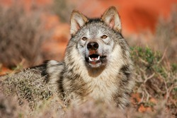 Portrait of Gray wolf (Canis lupus) in a desert