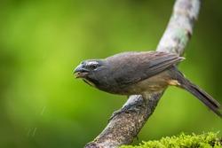 Portrait of Grayish Saltator (Saltator coerulescens) perched on branch