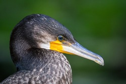 Portrait of Great Cormorant (Phalacrocorax carbo). Close up