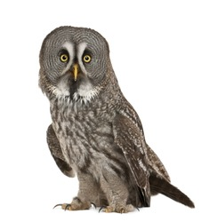 Portrait of Great Grey Owl or Lapland Owl, Strix nebulosa, a very large owl, standing in front of white background