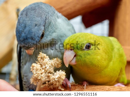 Portrait of green and gray Barred parakeets (Bolborhynchus lineola),close up.