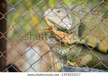 Portrait of green Iguana in the cage, Iguana have strong jaws with razor-sharp teeth and sharp tails. One of the most popular reptile pets in the United States.