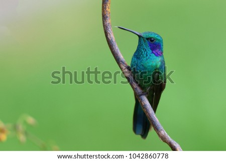 Portrait of Green Violetear (Colibri thalassinus) perched on small branch #1042860778