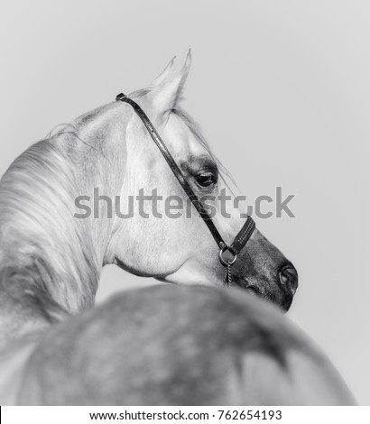 portrait of grey Arabian horse from the back - black and white photo
