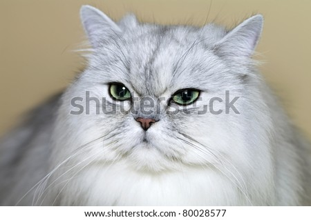 Portrait of  grey Persian cat - stock photo