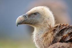 Portrait of Griffon Vulture in Catalonian Mountains