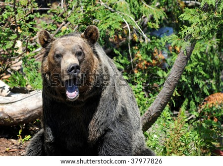 portrait of grizzly bear growling
