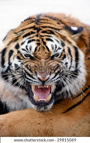 Portrait of growling tiger