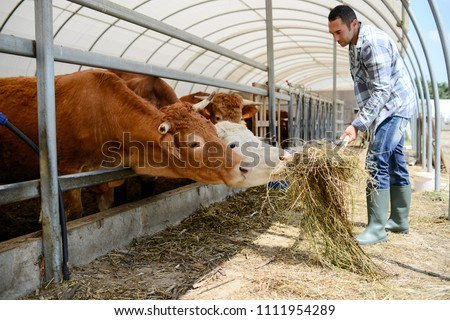 portrait of handsome farmer feeding animals in a livestock small breeding husbandry farming production taking care of charolais cow and cattle