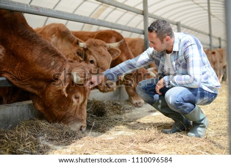 portrait of handsome farmer in a livestock small breeding husbandry farming production taking care of charolais cow and cattle #1110096584
