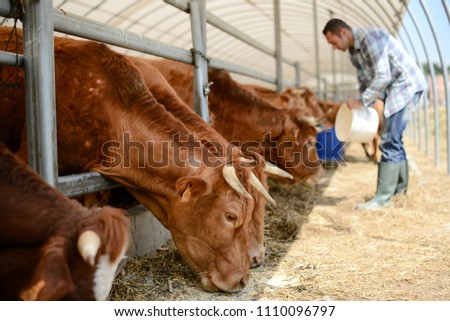 portrait of handsome farmer in a livestock small breeding husbandry farming production taking care of charolais cow and cattle