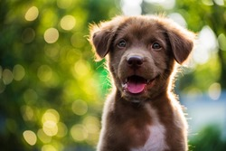 Portrait of Happy brown cute Labrador Retriever puppy with foliage bokeh background. Head shot of smile dog with colorful spring leaf  at sunset with space for text.