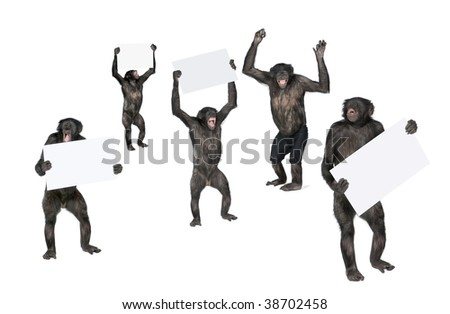 Portrait of happy chimpanzees holding signs against white background, studio shot; (Mixed-Breed between Chimpanzee and Bonobo) (20 years old)