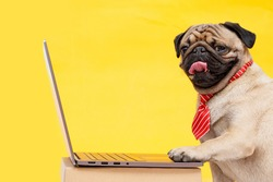 Portrait of happy dog of the pug breed office worker in a tie. Dog looking at laptop. Yellow background. Free space for text.