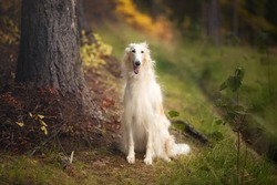 Portrait of happy russian borzoi dog sitting in the bright fall forest. Image of beautiful dog breed russian wolfhound in the forest in autumn