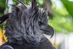 Portrait of Harpy eagle (Harpia harpyja) proudly looks away