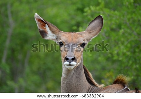 portrait of head of greater kudu (Tragelaphus strepsiceros) female in South Africa Kruger National Park on the green background, great eyes nad ears