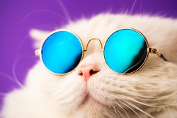 Portrait of highland straight fluffy cat with long hair and round sunglasses. Fashion, style, cool animal concept. Studio shot. White pussycat on violet background.