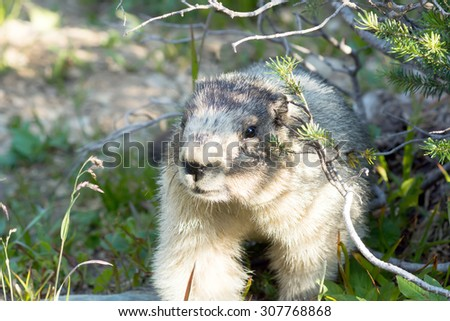 Portrait of Hoary marmot (Marmota caligata). Glacier National Park (Eng. Glacier National Park), Montana, United States