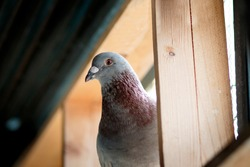 portrait of homing pigeon in home loft