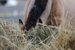 portrait of horse eating hay from feeder in horse paddock in autumn in daytime