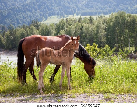 Portrait of horse with foal against mountains. Mountain Altai