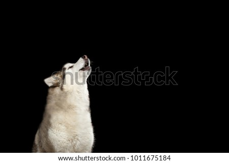 Portrait of Howl Alaskan Malamute Dog, isolated on Black Background, side view