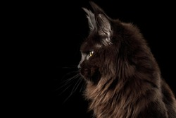 Portrait of Huge Black Maine Coon Cat in profile view on Isolated Black Background