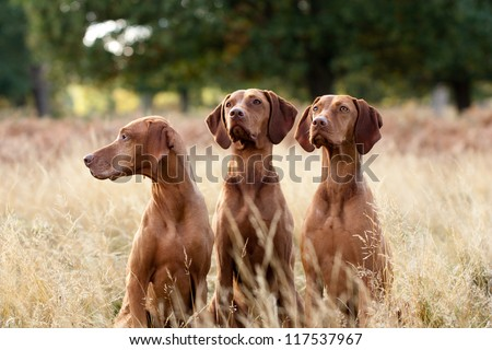Portrait of Hungarian Vizsla dogs sitting in long fall grass #117537967