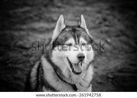 Portrait of husky dog with opened mouth. Toned.