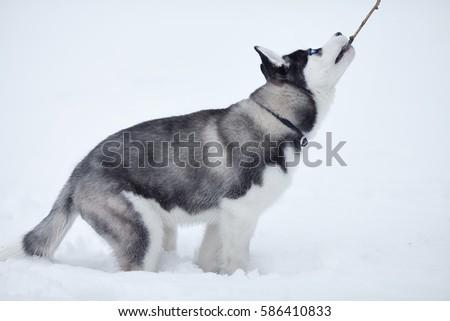 Portrait of husky puppy in winter in snow. #586410833