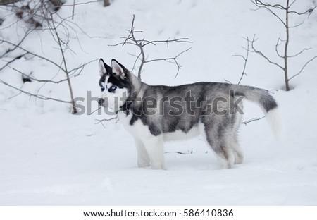 Portrait of husky puppy in winter in snow. #586410836