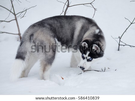 Portrait of husky puppy in winter in snow. #586410839